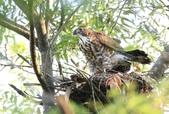 鳥類攝影:松雀鷹 Accipiter virgatus