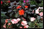 草花植物:非洲鳳仙花Impatiens walleriana