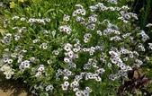 草花植物:三色吉利 Gilia tricolor