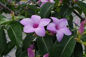 藤蔓植物:橡膠紫茉莉 Cryptostegia grandiflora