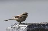 鳥類攝影:草原灰伯勞
