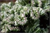 多肉植物:春峰 Euphorbia lactea f. cristata