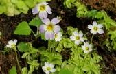 食蟲植物:捕蟲堇 Pinguicula