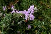 草花植物:迷迭香 Rosmarinus officinalis Linn.