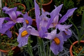 球根花卉:藍寶花菖蒲 Iris 'Professor Blaauw'