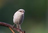 鳥類攝影:白化紅尾伯勞