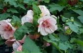 木本花卉:歐洲風鈴花