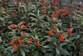 草花植物:小圓彤 Seemannia sylvatica.
