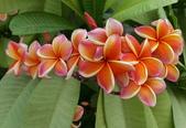 木本花卉:三色緬梔 Plumeria rubra 'tricolor'