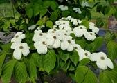 木本花卉:大花四照花 Cornus florida