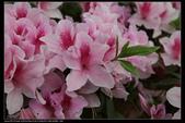 木本花卉:杜鵑