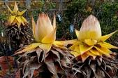 草花植物:地湧金蓮