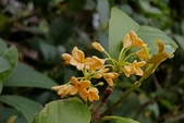 木本花卉:金桂 Osmanthus fragrans var. aurantiacus