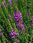 草花植物:美麗千屈菜Lythrum salicaria 'Feuerkerze