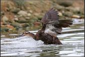 人類飼養的鳥:雜交鴨