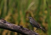 鳥類攝影:A20T0775.JPG