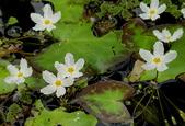 水生植物:龍骨瓣莕菜Nymphoides hydrophylla