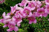 木本花卉:紫芸藤 Podranea ricasoliana (Tanfani) Sprague