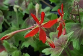 草花植物:楓葉天竺葵 Pelargonium x hortum cv 'Vancouver Centennial'.