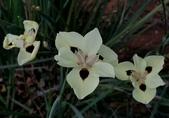 球根花卉:雙色野鳶尾 Dietes bicolor