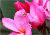 蜘蛛:斜紋貓蛛 Oxyopes sertatus L. Koch