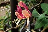 藤蔓植物:紅金銀花 Lonicera japonica