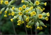 草花植物:蓮香報春花  Primula veris