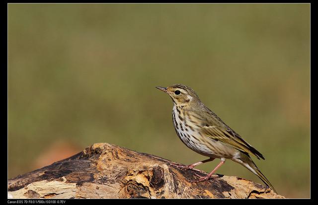 鳥類攝影:1770958762.jpg