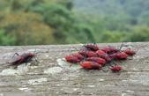 昆蟲圖像:紅姬緣椿象  Leptocoris augur