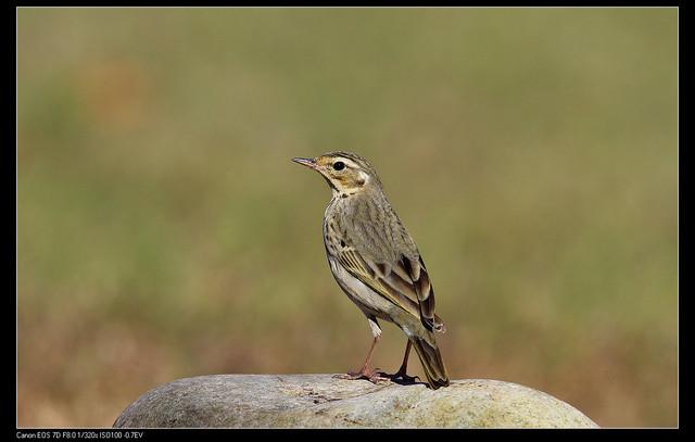 鳥類攝影:1770958768.jpg