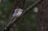 鳥類攝影:灰喜鵲 Cyanopica cyana