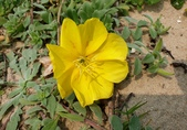 野花:裂葉月見草 Oenothera laciniata Hill