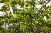 觀葉植物:紫花槭 Acer pseudosieboldianum