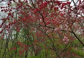 木本花卉:梅花栽培種 Prunus mume cv 'kagoshimabeni