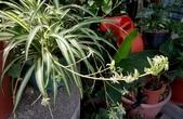 草花植物:大葉吊蘭 Chlorophytum comosum cv. ' Picturatum '