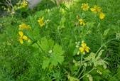 草花植物:白屈菜 Chelidonium majus