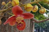 木本花卉:砲彈樹