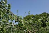 木本花卉:蘋果花
