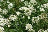 草花植物:香雪球 Lobularia maritima (L.) Desv.