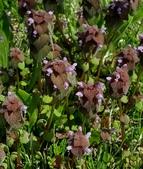 草花植物:紫花野芝麻  Lamium maculatum