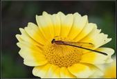 蜻蜓:蜻蜓