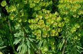 草花植物:歐洲柏大戟 Euphorbia cyparissias