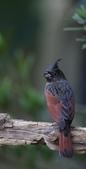 鳥類攝影:冠鵐 Melophus lathami