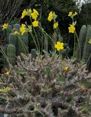 球根花卉:象牙宮 Pachypodium rosulatum var. gracilius
