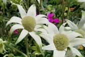 草花植物:法蘭絨花 Actinotus helianthi