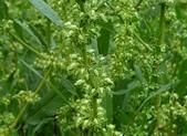 野花:小羊蹄 Rumex dentatus subsp. nipponicus