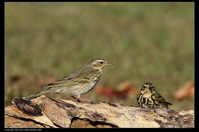 鳥類攝影:1770958775.jpg