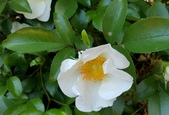 木本花卉:金櫻子 Rosa laevigata Michx.