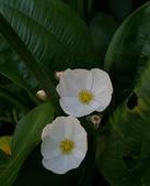 水生植物:草澤瀉 Alisma gramineum