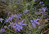 球根花卉:野風信子 Scilla peruviana